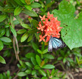Butterfly on Rubiaceae flower Stock Images