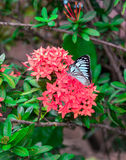 Butterfly on Rubiaceae flower. Butterfly on Rubiaceae red flower Royalty Free Stock Images
