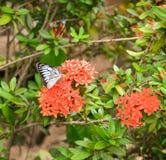 Butterfly on Rubiaceae flower Stock Photo