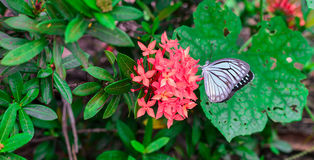 Butterfly on Rubiaceae flower. Butterfly on Rubiaceae red flower Royalty Free Stock Photography