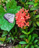 Butterfly on Rubiaceae flower. Butterfly on Rubiaceae red flower Royalty Free Stock Photos