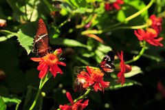 Butterfly: Rusty-tipped Page & Heliconius Numata Stock Image