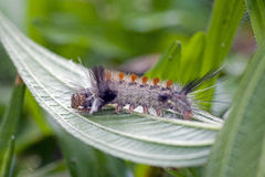 Butterfly's caterpillar in remnant of Atlantic Rainforest Stock Photography