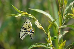The butterfly's eclosion. The nature witnesses the butterfly'eclosion.This butterfly is called Papilio machaon royalty free stock photos