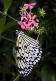 Butterfly's Lunch royalty free stock images
