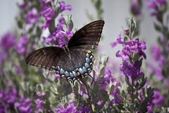 Butterfly on Sage Royalty Free Stock Photo