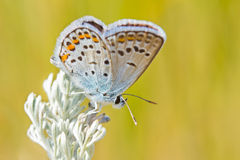 Butterfly on sagebrush sprig Stock Photo