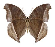 Butterfly Salamis augustina underside royalty free stock images