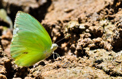 Butterfly on the salt lick. Royalty Free Stock Photography
