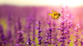 Butterfly with Salvia flowers Stock Image