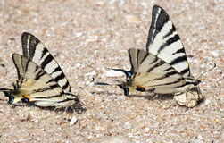 Butterfly on sand ashore Royalty Free Stock Images