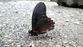 Butterfly on beach. Butterfly on sand at the edge of a stream. Detail of black and red wings royalty free stock photo