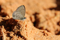 Butterfly on sand, The Tailless Lineblue. Royalty Free Stock Photos