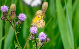 Butterfly sandy eye on thistle Royalty Free Stock Photos