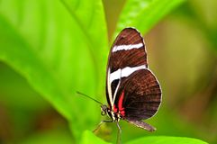 Butterfly, Sara Longwing in aviary in Florida Royalty Free Stock Image