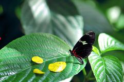 Butterfly, Sara Longwing on green leaf Stock Photo