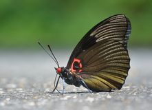 Butterfly -Sasakia funebris�Leech Royalty Free Stock Images