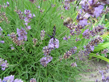 Butterfly sat on a bush of lavender. Beautiful butterfly sat on a bush of lavender stock images