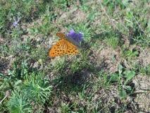 Butterfly `Satirus Ferula` Stock Images