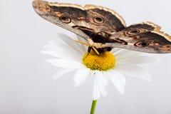 Butterfly Saturnia on daisy Royalty Free Stock Photos