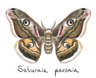 Butterfly Saturnia Pavonia. Watercolor imitation. Royalty Free Stock Photography