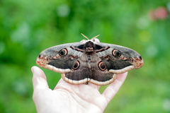 Butterfly Saturnia pyri Royalty Free Stock Photography