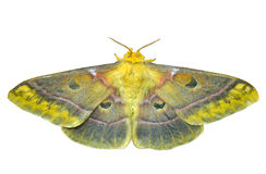 Butterfly (Saturnidae) 8 Stock Photography