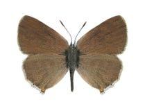 Butterfly Satyrium acaciae Stock Photo