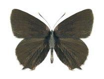 Butterfly Satyrium ilicis (male) Stock Photos