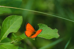BUTTERFLY - SCARCE COPPER Royalty Free Stock Photography