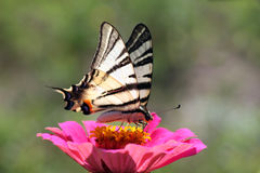 Butterfly (Scarce Swallowtail) Stock Photos