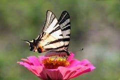 Butterfly (Scarce Swallowtail). Sitting on flower (zinnia Stock Photos