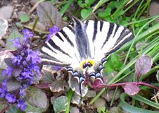 The scarce swallowtail Iphiclides podalirius stock image