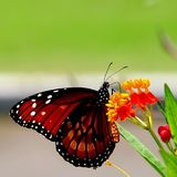 Butterfly on scarlet milkweed flowers. Closeup of a Queen Butterfly standing on tropicalmilkweed flowers, in a South Florida garden. The Queen Butterfly (Danaus stock photography