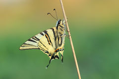 Butterfly - Scarse swallowtail ( Iphiclides podalirius) Royalty Free Stock Photo