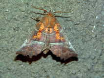 Butterfly Scoliopteryx libatrix. The beautiful rare butterfly. The photo is made at night - the butterfly has arrived on light of a lantern. Original date/time Stock Image