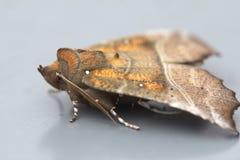 Butterfly (Scoliopteryx libatrix) Stock Photos