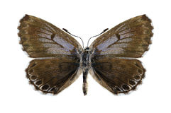 Butterfly Scolitantides orion (female) Royalty Free Stock Photography