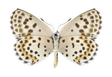 Butterfly Scolitantides orion (male) (underside) Royalty Free Stock Photos