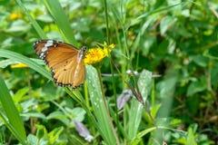 Butterfly seeking nectar on a flower Stock Photo
