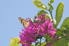 A butterfly seeking nectar. A butterfly searches for food among the flowers of the bougainvillea Stock Photos