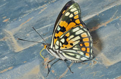 Butterfly (Sephisa dichroa) 31 Royalty Free Stock Photos