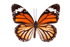 Butterfly series - The Common Tiger (Australia) Stock Photo
