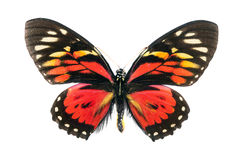 Butterfly series - Papilio Zagreus (Peru) Stock Images