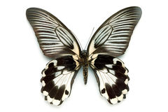 Butterfly series - Rare Beautiful Butterfly Stock Images