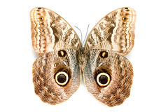 Butterfly series - Rare Beautiful Butterfly Stock Image