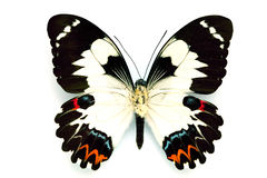 Butterfly series - Rare Beautiful Butterfly Royalty Free Stock Image