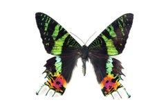 Butterfly series - Urania ripeus (Madagascar) Royalty Free Stock Photo