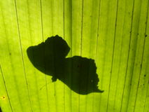 Butterfly. The shadow of a butterfly, sitting on a palmtree leaf Royalty Free Stock Images
