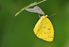 Butterfly with the shell. Yellow butterfly just come out from the shell stock photo